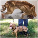 Before and after of a dog's amazing recovery with a dog knee brace