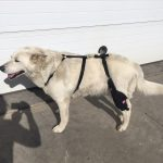 Dog in left custom knee brace by MuttKnee