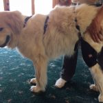 Golden Retriever in dog knee brace
